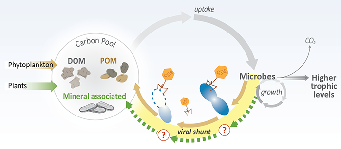 "Virus-mediated lysis of microbial cells releases organic matter (""viral shunt"") back into the microbial loop, where it can be transformed into living biomass, lost as carbon dioxide (CO2), or adsorbed to minerals."